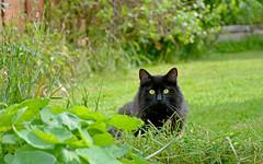 Garden Guardian (Caulker) Tags: garden pet cat vaska 27052017