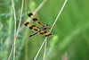 Halloween Pennant (U.S. Fish and Wildlife Service - Midwest Region) Tags: minnesotavalley nwr refuge louisvilleswamp nationalwildliferefuge minnesota mn twincities minneapolis carver june spring 2017 summer nature wildlife insect insects dragonfly dragonflies halloweenpennant