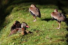 Black Bellied Whistling Ducks (Chris Bainbridge1) Tags: dendrocygna autumnalis black bellied whistling duck azores san miguel terra nostra gardens