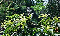 Iguana macho...DSC_2732B (gtercero) Tags: 20170417 iguanamacho tuxtlagutiérrez chiapas méxico jchr gtercero