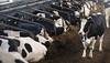 pawu013 (Otwarte Klatki) Tags: krowa krowy mleko zwierzęta cielak ferma andrzej skowron