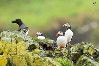 Papagaio-do-mar, Atlantic puffin (Fratercula arctica) / Torda-mergulheira, Razorbill(Alca torda)