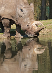 white rhino Burgerszoo JN6A6363 (joankok) Tags: witteneushoorn whiterhino rhino rhinoceros neushoorn breedlipneushoorn burgerszoo africa animal afrika mammal zoogdier dier herbivore