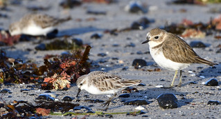 Double-banded Plovers