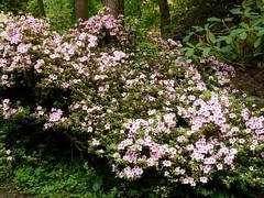 Clyne in Bloom Mid-May 2017 (5) (goweravig) Tags: clynegardens azaleas blooms flowers clyne swansea mayals parks gardens