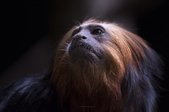 Golden-headed lion tamarin (Tanvir.Kawnine) Tags: tamarin liontamarin goldenheadedliontamarin furuvikpark wild