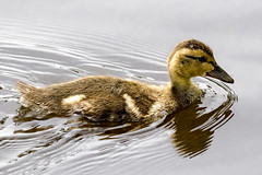 Wet Duckling (Chatham Sound) Tags: gadwall ducks ducklings dabblers anas strepera