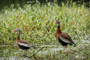 Rare sighting - Black-bellied Whistling-Ducks_20A1027