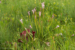 Pitcher Plants (stephaniepluscht) Tags: alabama 2017 graham creek nature preserve foley wildflowers wildflower pitcher plant plants sarracenia bog
