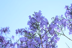 Jacaranda Leaves (hopedorman) Tags: nature outdoor nopostprocessing jacaranda jacarandas jacarandatree purple plant sky