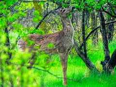 Snack Time along The Dawson Trail in La Coulee, Manitoba (ezigarlick) Tags: deer wildlife nature whitetail dawsontrail dawsonroad snacking eating leaves lacoulee manitoba rmofsteanne steannerm spring may