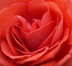 Rose (Kenih8) Tags: rose olympus pen epl7 elmarit