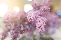 A Surfeit of Beauty (Thousand Word Images by Dustin Abbott) Tags: bokeh spring flowers canonef35mmf14lusmii adobelightroomcc canon5d4 thousandwordimages light lilac dustinabbottnet alienskinexposurex2 ontariodistrict unitedpentecostalchurch beautiful event 2017 canoneos5dmarkiv 5dmarkiv ontario adobephotoshopcc photography christianity canada photodujour dustinabbott oshawa ca explore explored