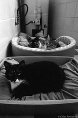 3 gatas (Celso Kuwajima) Tags: epsonv800 silverfastai ilfordhp5 bw leicam4 leicasuperangulon13421mm analogphotography 20170528 cats indoor sãopaulo brazil br