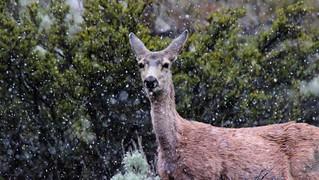 Mule Deer in a Spring Snow Flurry