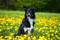 Joey (Flemming Andersen) Tags: animal joey mælkebøtter outdoor spring yellow bordercolli dandelions dog flower nature pet