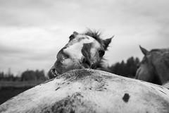 Mutual Grooming (JustJamieLeigh) Tags: horse horses animal animals appaloosa appaloosas appy appies blackandwhite monochrome fuji fujix100t equines equine