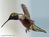 "(jimgspokane) Tags: hummingbirds blackchinnedhummingbirds birds wildlife idahostate camping ""nikonflickraward"" otw"