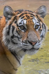 Eye contact with Callisto (stephanieswayne1) Tags: profile portrait zoo columbus cat big animal wild stare gaze looking eye cub tiger amur