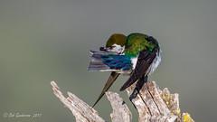 Violet-green Swallow (Bob Gunderson) Tags: birds santaclaracounty southbay swallows tachycinetathalassina violetgreenswallow