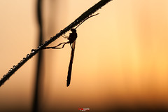 Schlupfwespe bei Sonnenaufgang (oliver r.) Tags: canon tamron macro makro nature natur insect insekt wildlife outdoor sonnenaufgang sunrise gegenlicht wespe schlupfwespe ngc