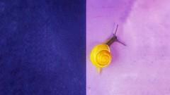 Two-tone (Luc1659) Tags: bicolore snail rosa viola geometrie lumaca blue oro