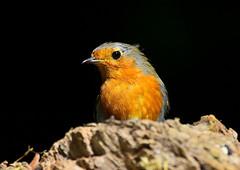 Robin (George Findlay) Tags: robin bird ayrshire rozelle nikon sigma