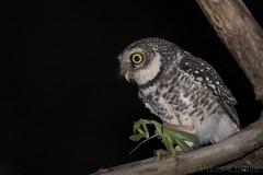 Spotted Owlet. (Vikas.B.Chavan) Tags: nikond7100 afsnikkor300mmf4difed nikontc14eii spottedowlet athenebrama