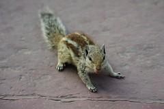Un écureuil en colère! (sgjulia) Tags: ecureuil inde fortrouge agra pentaxk5