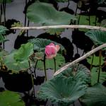 Lotus, Ayutthaya thumbnail
