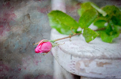 23 maggio 2017, variazioni su una sedia bianca (adrianaaprati) Tags: outdoor garden spring may rose stilllife chair white texture evelynflint blur painting likeapainting