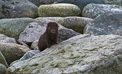 Mink on rocky beach (Ann and Chris) Tags: mink mammal furry animal norway