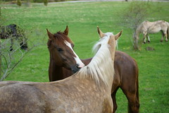 Parhästar (Kent Lindberg) Tags: par hästar man leker