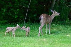 Three days old (shireye) Tags: deer myyard comoxvalley bc britishcolumbia vancouverisland nikon d610 24120 ff fullframe fx threedaysold