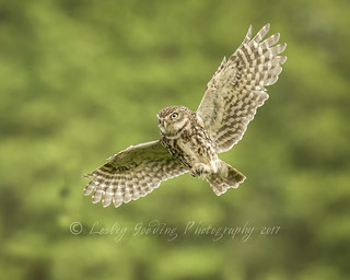 Little Owl (on the hunt)
