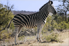 Zebra waiting to cross (crafty1tutu (Ann)) Tags: travel holiday 2016 southafrica africa african animal zebra krugernationalpark wild free inthewild roamingfree crafty1tutu canon7dmkii ef100400mmf4556lisiiusm anncameron mammal naturescarousel coth naturethroughthelens anaturecanvas coth5