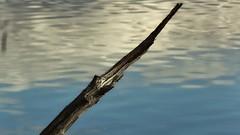 Pinne i älven (henkeiP) Tags: stick pinne dalälven water vatten clouds jolasåälä