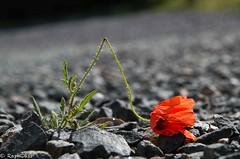 (RaphCass) Tags: coquelicot poppy fleur flower rouge red pierre stone blessé injured feuille diurite hose mai 2017