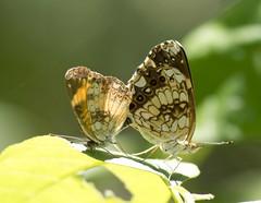 Silvery Checkerspot, Garden of The Gods Wilderness, IL (Ranger Robb) Tags: gardenofthegodsillinois shawneenationalforest nature