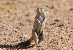 Southern African Ground Squirrel, Solitaire, Namibia October 2014 (Sterna999) Tags: southernafricangroundsquirrel xerusinauris solitaire road c26 namibia südafrika desert wüste