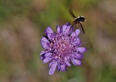 Wild Flower (Hugo von Schreck) Tags: hugovonschreck macro makro flower blume blüte wildflower wildblume canoneos5dsr tamron28300mmf3563divcpzda010