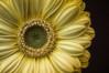 Gerbera (Foulridge_Photography) Tags: gerbera flower floral macro yellow gold nikon d5000 sigma detail
