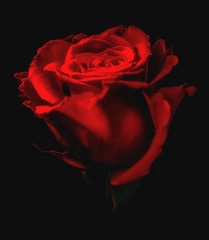 Red Rose (Foulridge_Photography) Tags: rose red flower floral nikon d5000 sigma