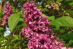 Flieder (Gartenzauber) Tags: floralfantasy doublefantasy