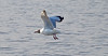 Brown-headed gull_Chroicocephalus brunnicephalus_Bhandup_April 2017 3 (Shubhada Nikharge) Tags: brownheadedgull chroicocephalusbrunnicephalus bird bhanduppumpingstation bhandup