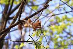 Gourmand (Unicorn.mod) Tags: 2017 colors squirrel spring may nature animal canoneos6d canon70300f456isusm gourmand abigfave