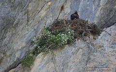 Aigle royal au nid (gil streichert) Tags: aigle royal eagle aquilla aguila rapace ubaye nid