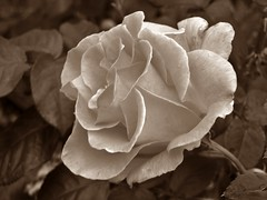 Just an old fashioned love song (MissyPenny) Tags: rose sepia flower pennsylvania pdlaich garden usa