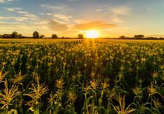 Golden Maize of Summer (ajecaldwell11) Tags: corn summer hawkesbay newzealand sunset ankh sun golden fields sky maize light caldwell dusk clouds