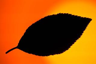 Cherry Leaf Silhouette